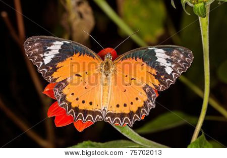 Monarch Butterfly On A Orange Flower, Danaus Plexippus, On Dark Backrgound