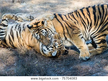 Two tigers play and fight