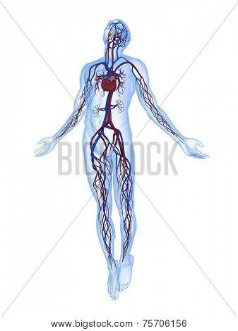 body rising - vascular system