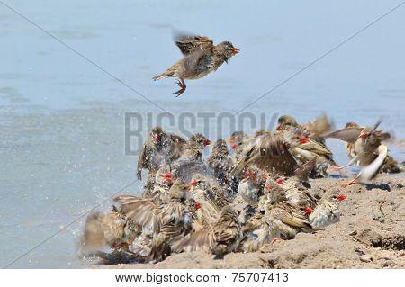Red Billed Quelea - African Wild Bird Background - Summer Fun and Joy