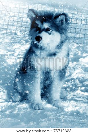 Dog Puppy Alaskan Malamute On Snow