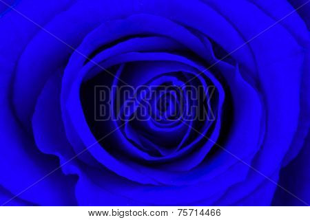 Close-up Of A Bright Blue Rose