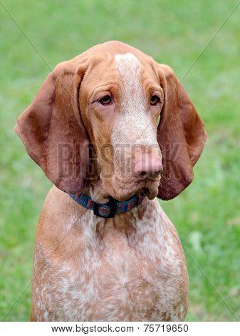 Portrait Of Italian Poiting Dog