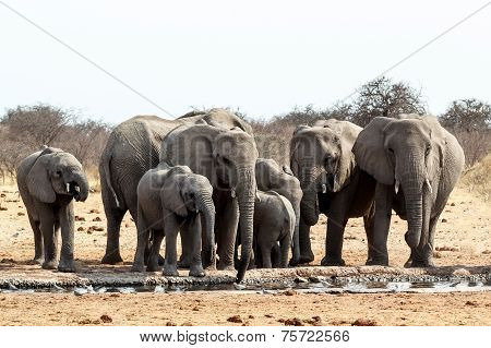 A Herd Of African Elephants Drinking At A Muddy Waterhole