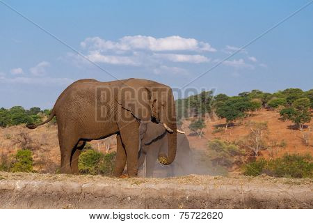 African Elephant In Chobe National Park