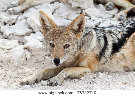 Black-backed Jackal (canis Mesomelas) Lying In Etosha Park