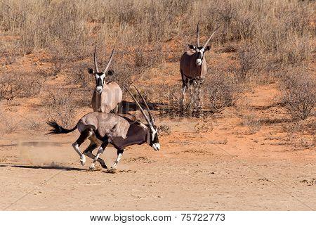 Gemsbok, Oryx Gazella Running