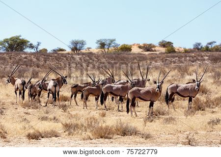Gemsbok, Oryx Gazella On Sand Dune