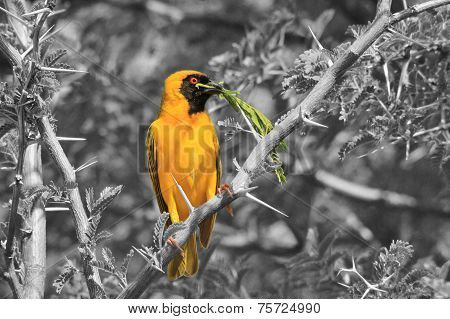 Yellow Weaver - African Wild Bird Background - Peace for All