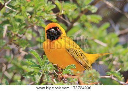 Yellow Weaver - African Wild Bird Background - Golden Summer Pose