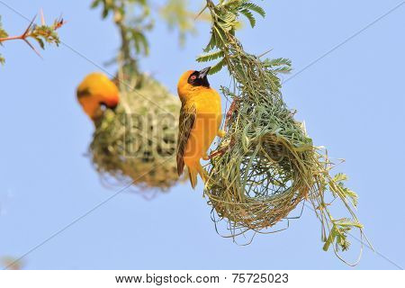 Yellow Weaver - African Wild Bird Background - Proud Home Owner