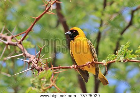 Yellow Weaver - African Wild Bird Background - Summer Gold