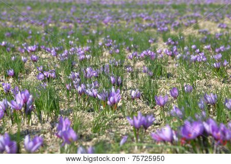 Saffron flowers in a field
