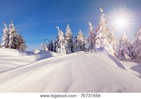 Sunny day in a mountain forest. Winter landscape. Fir trees under the snow and snowdrifts