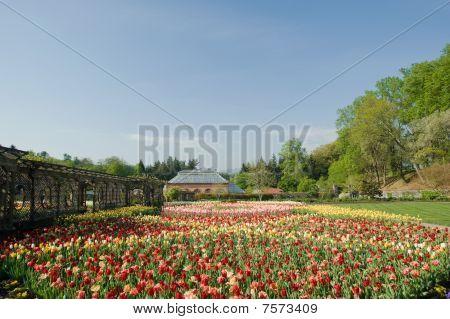 Massive Tulip Garden In Spring
