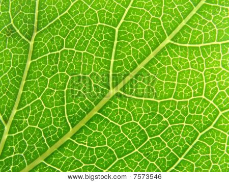 Green Leaf Veins 04