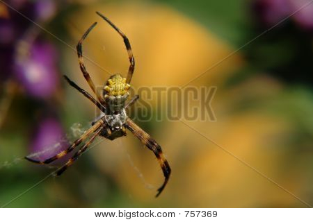 the ecuadorian spider