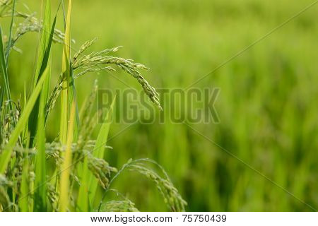 Rice plant with grain in rice field