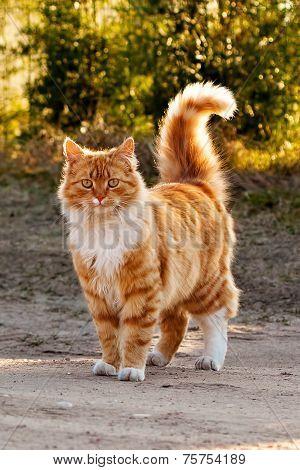Ginger Furry Cat