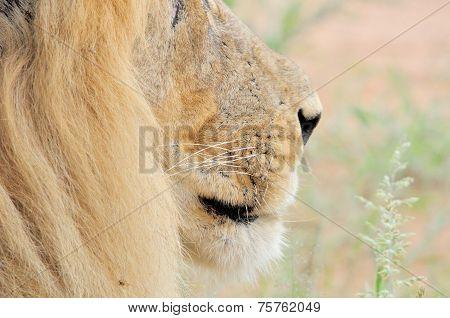 Male Lion Face Close-up