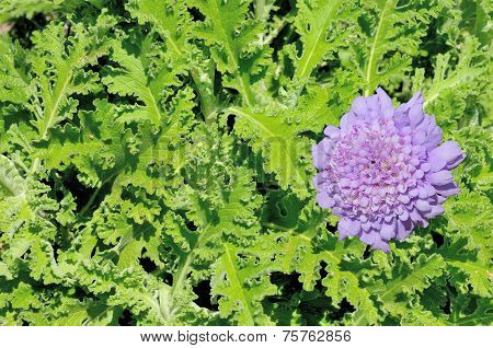 African Wormwood Plant And Flower