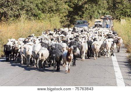 Goat flock on the way to the stable