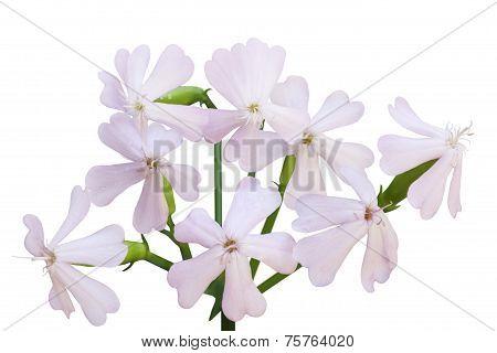 Soapwort Flower