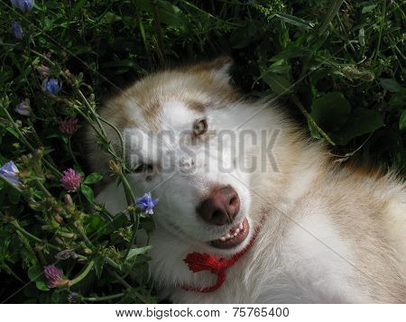 Beautiful Alaskan Malamute walks in nature
