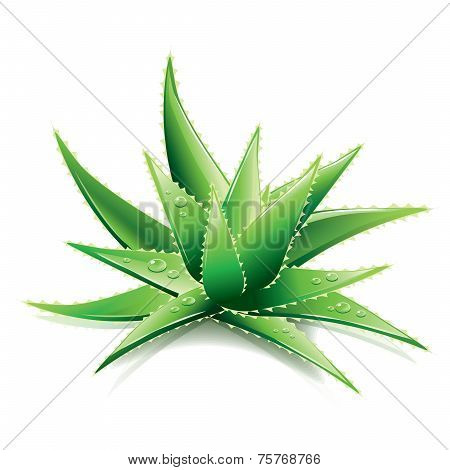 Aloe Vera Isolated On White Vector