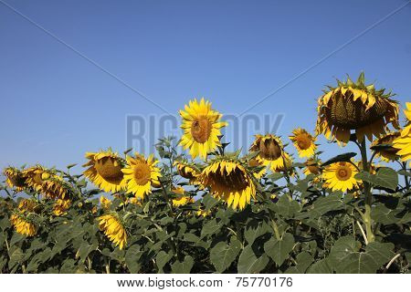Field Of Sunflowers On A Background Of Blue Sky And White Clouds.