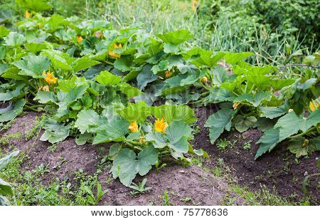 Zucchini With Large Green Leaves Growing In The Vegetable Garden