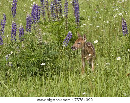 Baby Fawn in a Meadow of Wildflowers