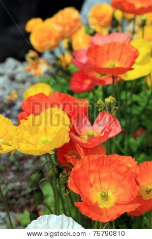 Multicolor Poppy Flowers In The Garden