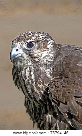 Ruffled Hawk