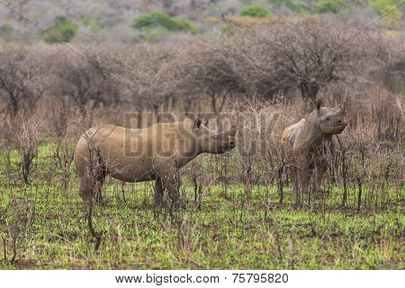 two black rhinos in african grassland