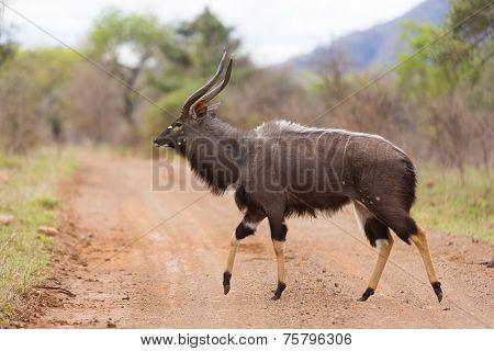 Nyala walking in african wild bush