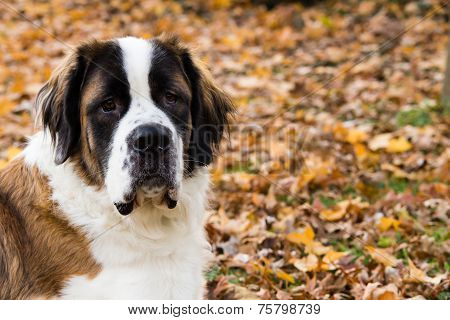 St Bernard In Autumn