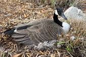 pic of mother goose  - Mother goose sits on her nest keeping her eggs warm - JPG