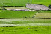 image of dike  - Rice field at Chau Doc, An Giang Province , Southern of VIetnam,  farmers are walking on