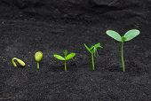 foto of germination  - The sequence of seed germination on soil - JPG