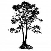stock photo of alder-tree  - Black Alder full size tree isolated silhouette - JPG