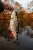 picture of chub  - Nice chub caught at sunset - JPG
