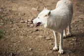 pic of white wolf  - Arctic Wolf  - JPG