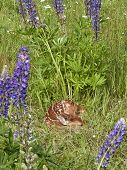 image of bambi  - Sleeping Fawn framed by purple lupine flowers - JPG