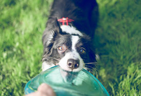 stock photo of frisbee  - playful border collie playing with frisbee - JPG