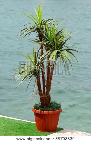 Green Palm In The Pot.