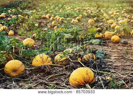 Field Full Of Ripe Pumpkins