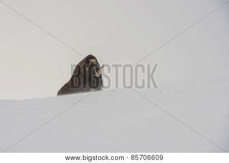 Muskox Sitting