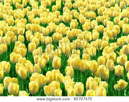 Yellow tulips field.