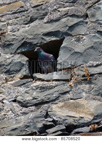 Pigeon in a rustic wall hole